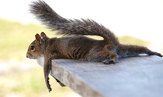 tired-squirrel