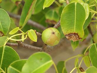 330px-Hippomane_mancinella_(fruit)